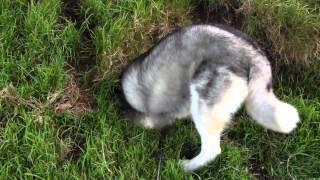 Happy Siberian Husky Looking For Rabbits