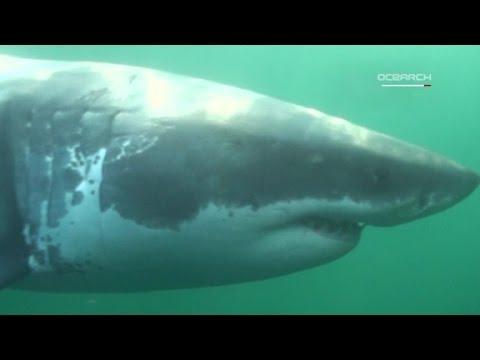 Baby great white shark caught near Long Island