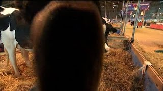 Une vache du Salon de l'agriculture lèche la caméra de BFMTV