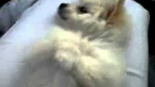 Pomeranian Cross Bichon