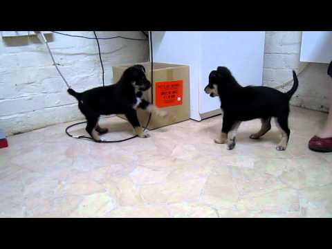 Cutest Kelpie Puppies Playing and Jumping