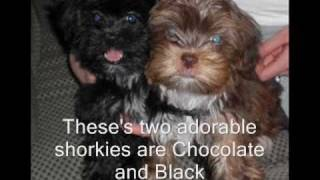Shorkie Tzu Puppies, Shorkies, Shih Tzu Mix, Yorkie Mix Puppies