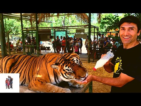 Petting and feeding Tigers, Lions and Bear Zoo Luján Argentina