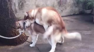 ВЯЗКА СОБАК В УКРАИНЕ.Dogs mating in Ukraine. Perros de apareamiento en Ucrania.Odessa.