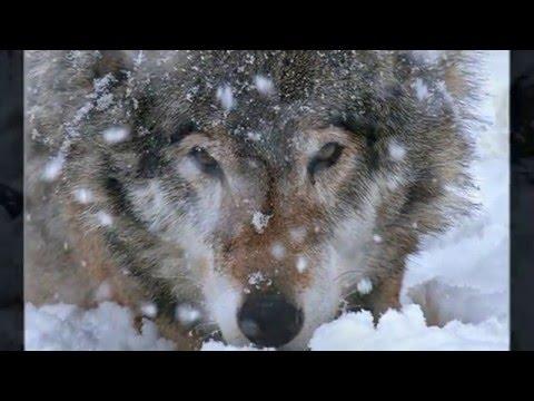 Снежные волки (СпН ВДВ)