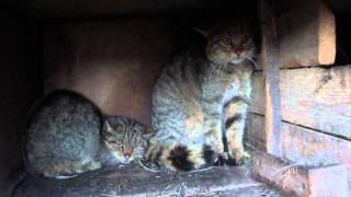 Камышовый  кот 2