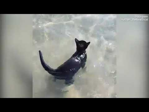 Meet Nathan the adorable beach cat who just loves to go swimming