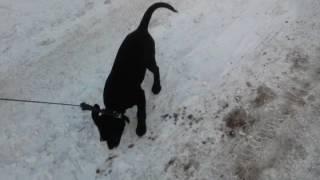 Щенок лабрадор 3 месяца