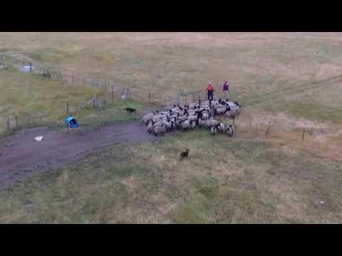 Australian Kelpie Working dogs
