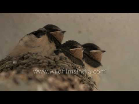Cute Wire-tailed Swallow brood fed by parents in a shop in the Himalaya