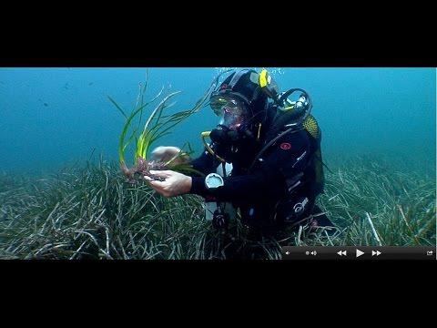 Posidonia oceánica, la planta que emigró al mar