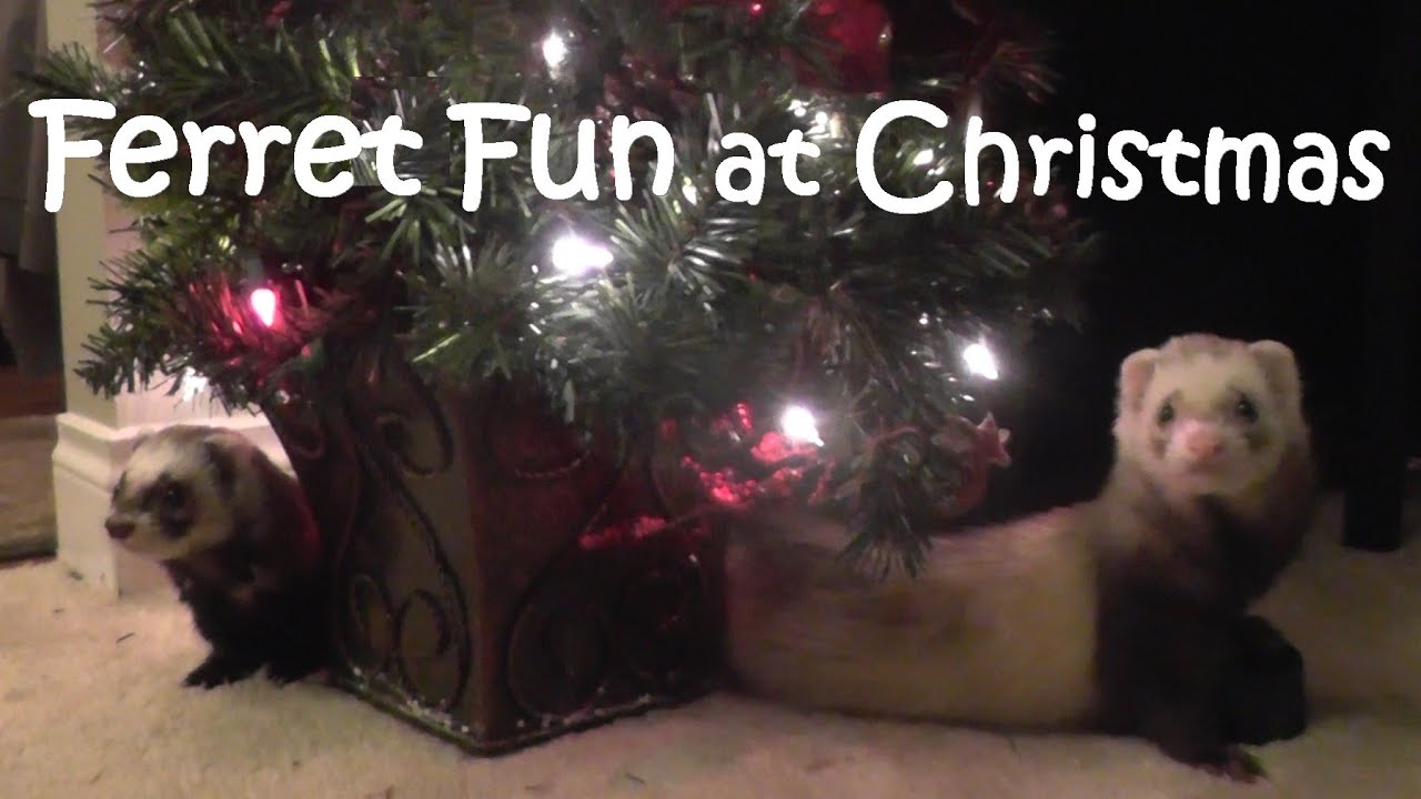 Christmas Ferret.Ferret Fun At Christmas