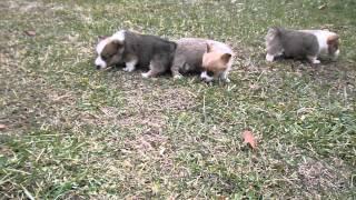 Pembroke Welsh Corgi Puppies Possum X Aj