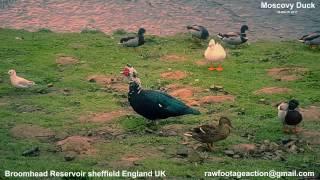Broomhead Reservoir Sheffield UK Muskovy Duck March 2017