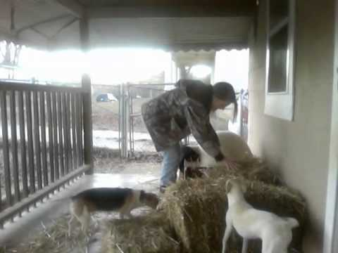 My Two Little Dog S Reactions To Putting Hay In Their Houses They Are Complete Spaz Ins