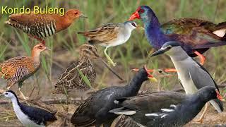 Suara pikat komplit burung sawah malam sangat cocok untuk jaring gantung di persawahan/rawa