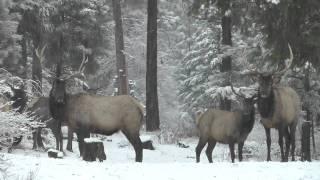 Snow falling on elk