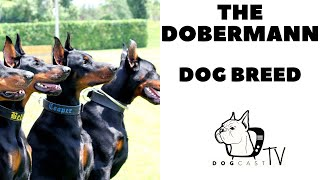The DOBERMANN dog breed!  Everything you need to know about Dobermanns!  DogCastTV