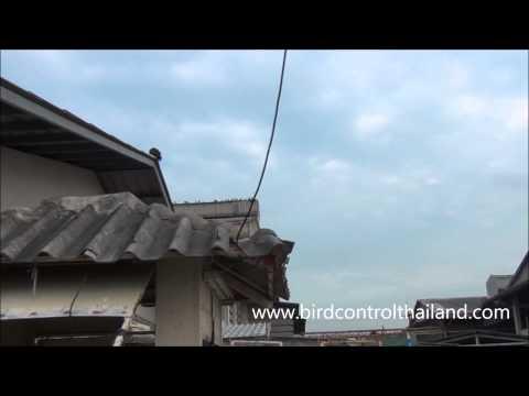 ไล่นกพิราบ ด้วยเหยี่ยว โรงงานกระเบื้อง ทั้งภายในโกดัง และนอกโกดัง by birdcontrol(Thailand)