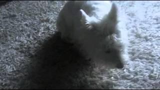 Dźwięk Jak Pies Je Jabłko 2