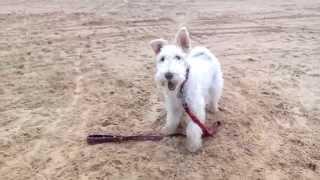 Lucky fox terrier En instagram: #luckyfoxterrier.