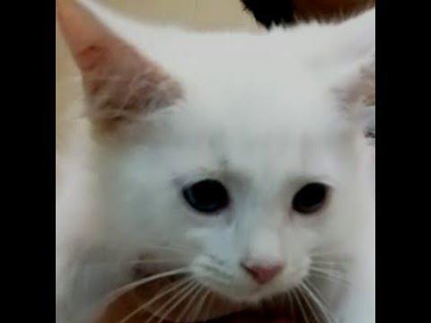 Cat ear cleaning - easy method - play full Turkish angora kitten - Great ideas