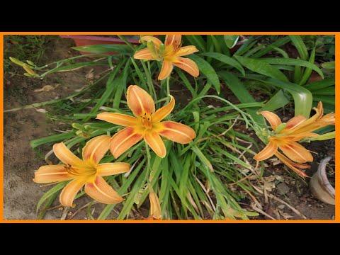 Daylilies-easy n budget friendly summer plant care tips गरमी की बल्ब डेलिली की देखभाल कैसे करे