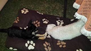 Hund Malteser Teddy & Chihuahua Sammy Blitzeinsatz der Super-Wachhunde