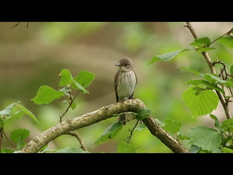 Singing SPOTTED FLYCATCHER in the Wyre Forest