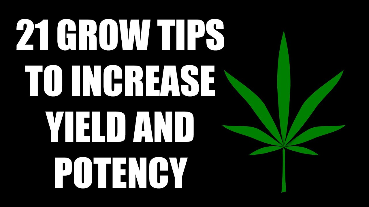 Download 21 Grow Tips To Increase Cannabis Yield and Potency