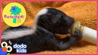 Baby Skunks Act Just Like Little Puppies | Animal Videos for Kids | Dodo Kids
