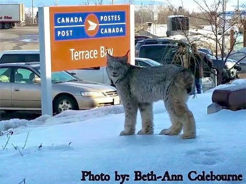 Lynx spotted at post office