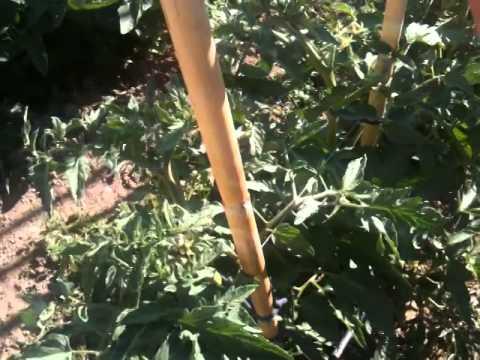 Καλλιέργεια ντομάτας  primantona meteor alma gali optimus cherry  μάθημα 1