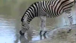 Zebry przy wodopoju - świat zwierząt Afryki- ,,Safari