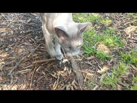 Tonkinese Cat taking a stroll...