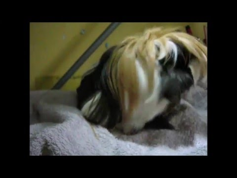 Comet, the grooming guinea pig
