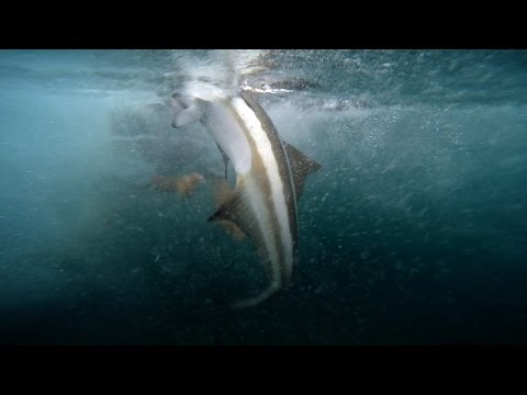 The Fish Of A Lifetime - Fishing For Cobia