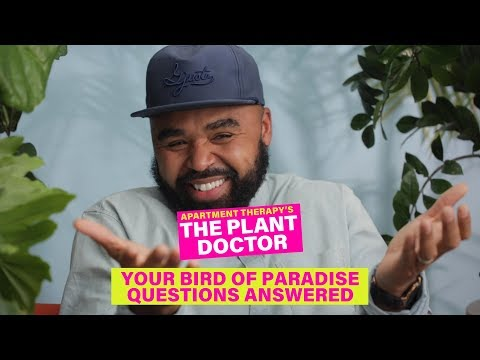 Your Bird Of Paradise Questions Answered | The Plant Doctor | Apartment Therapy