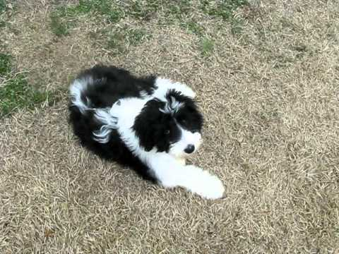 Playing with Bella our sheepadoodle