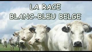 Race Blanc Bleu Belge