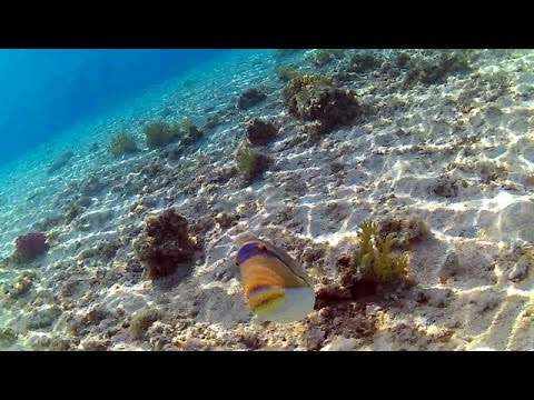 Trigger Fish Attacking Snorkeler Protecting It