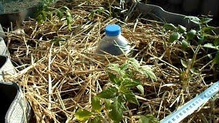 Крапельний полив пляшками та інструкція по застосуванню!