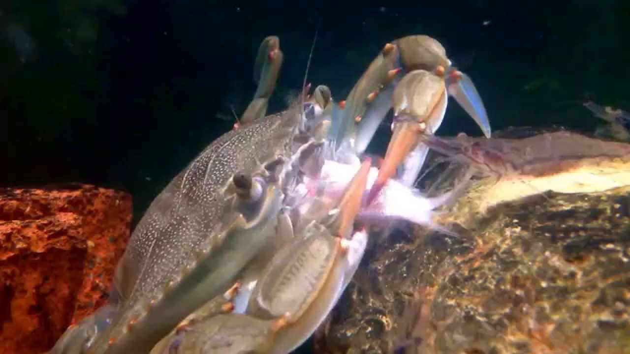 Blue crab eating goldfish in an aquarium - YouTube