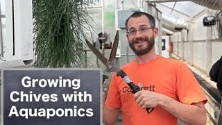Growing Chives in Aquaponics Systems