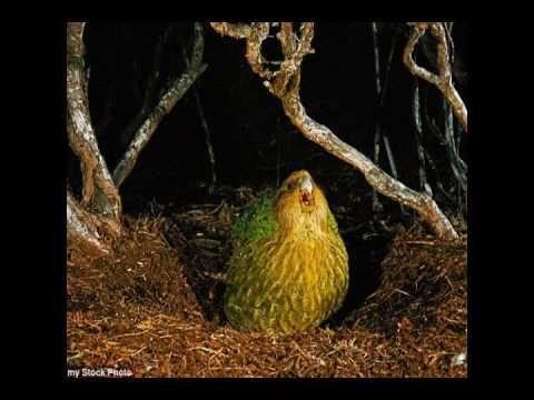 kakapo video