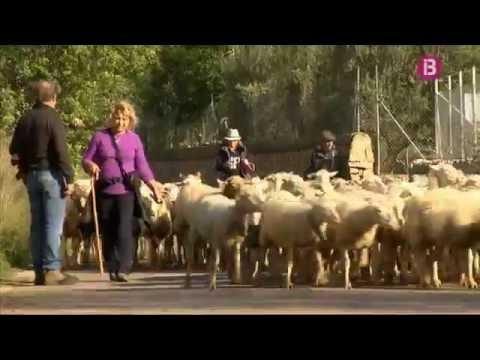 El pastoret de Llucmajor canvia les ovelles de finca per dins el poble