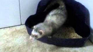 Using the litter like a good ferret.wmv