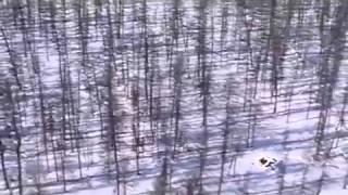 Зов тайги - аборигенные лайки