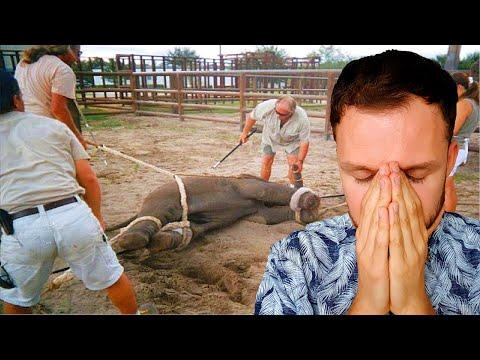 Tiermord im Zoo ganz normal! Zebra als Nahrung für Tiger - Zoo meiden! Tiersklaven