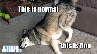 key-the-husky-making-you-laugh-subtitled-try-not-to-laugh